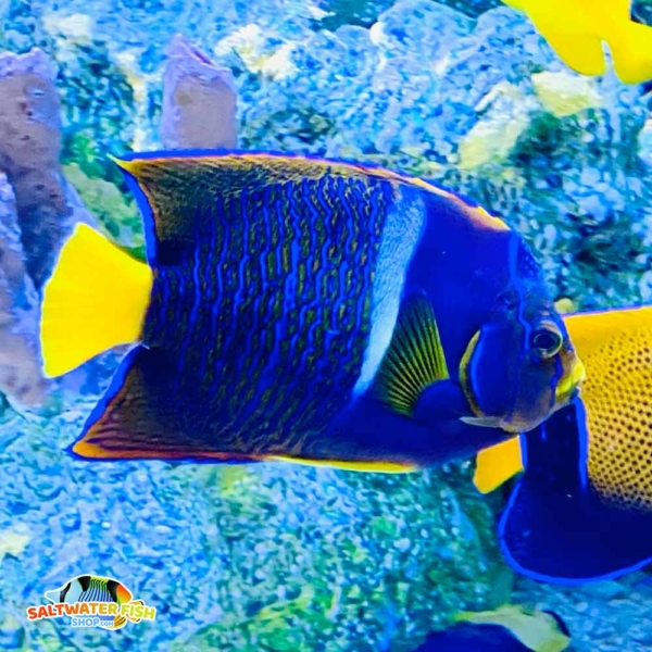 passer angelfish for sale