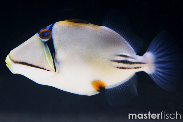 picasso triggerfish for sale