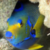 queen angel fish for sale