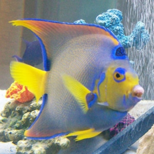 queen angelfish for sale