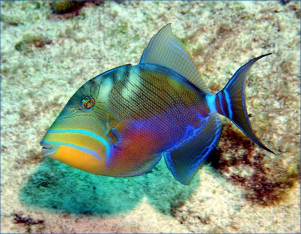 queen triggerfish for sale