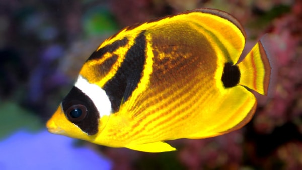 Raccoon butterfly fish for sale