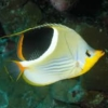 saddle butterfly fish for sale