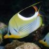 saddleback butterfly fish