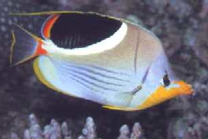 Saddleback butterfly fish for sale