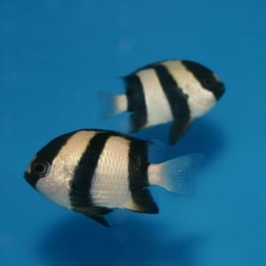 3 stripe damsel fish