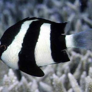 3 striped damselfish