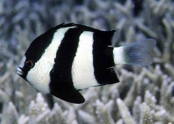 3 striped damselfish