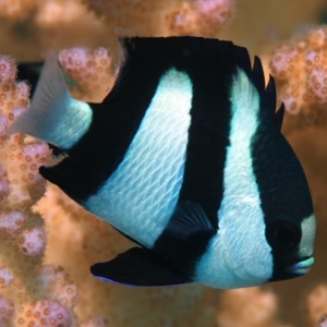 3 striped damselfish for sale