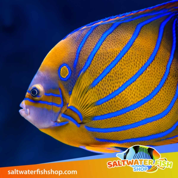 Annularis Angelfish for sale