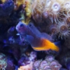 bicolor blenny for sale