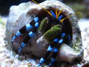blue leg hermit crab for sale