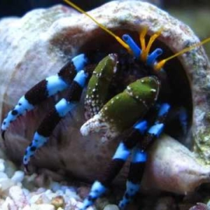 blue leg hermit crab for sale