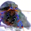 blue legged hermit crab for sale