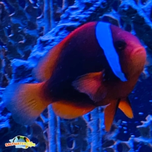 cinnamon clownfish for sale