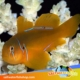 Citron Clown goby for sale