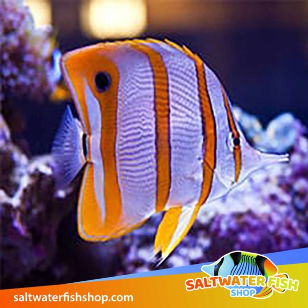 copperband butterflyfish for sale