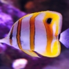 copperband butterfly fish for sale