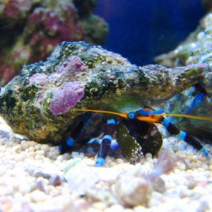 electric blue hermit crab for sale