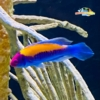 fairy wrasse for sale