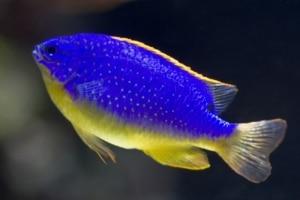 Fiji Blue Devil Damsel