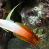 firefish goby for sale