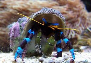 hermit crabs for sale online