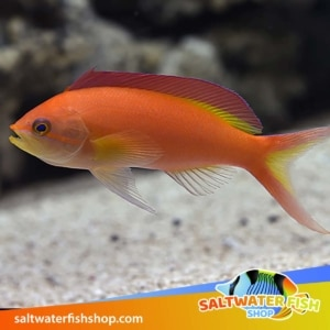 Flame Anthias for sale