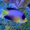 multi color angelfish