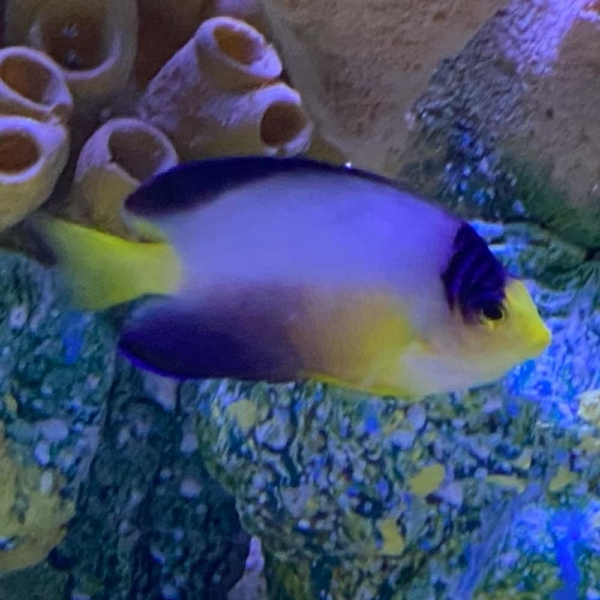 multicolor angelfish for sale