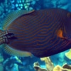 orange striped triggerfish for sale