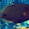 orange striped triggerfish for sale