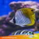 pearscale butterflyfish