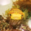porcupine puffer for sale