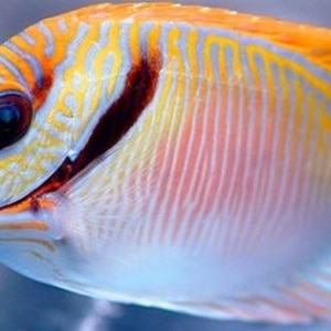 rabbitfish for sale