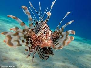 saltwater lionfish