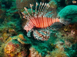 saltwater lionfish for sale
