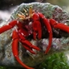 scarlet leg hermit crab