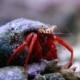 scarlet reef hermit crab