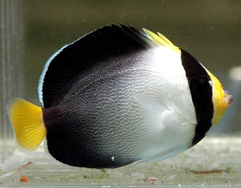 Singapore Angelfish for sale