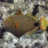undulate triggerfish for sale