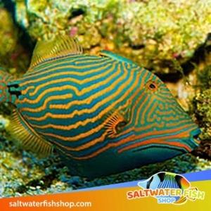 undulatus triggerfish for sale