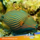 undulatus triggerfish for sale
