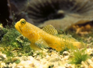 goby for sale
