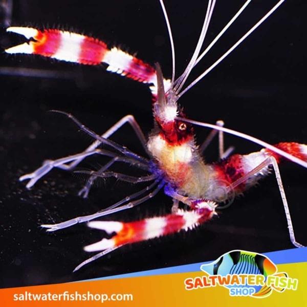 banded coral shrimp for sale