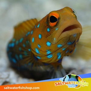 blue spotted jawfish