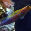 blue spotted jawfish for sale