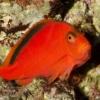 scarlet hawkfish