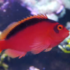 flame hawkfish for sale