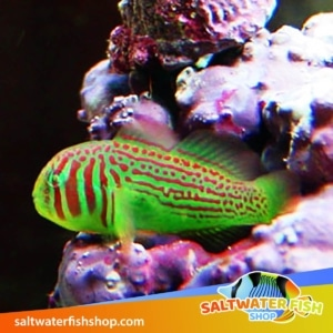 Green Clown Goby